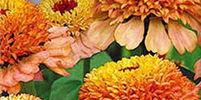 Цинния - гордый цветок