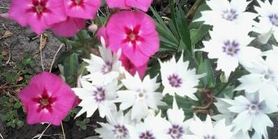 Флокс Друммонда - поселится в вашем саду и сердце навсегда