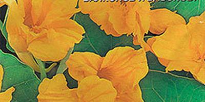 Настурция - золото и пламень зелёного ковра
