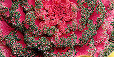 Декоративная капуста - яркие краски осени