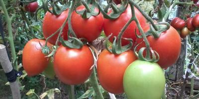 Мои очередные посевы. Сею помидоры