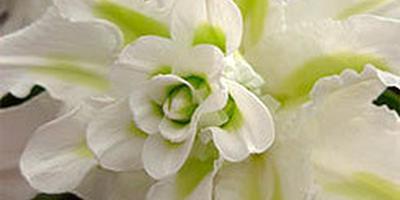 Лилии - цветы изящества, богатства и роскоши