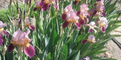 ИРИСЫ-эти милые сердцу цветы!
