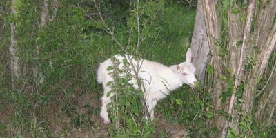 У соседа на даче козы, что мне делать?