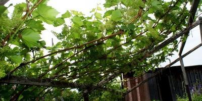 Виноградные предтечи на Алтае