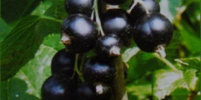 Колоновидные сорта черной смородины