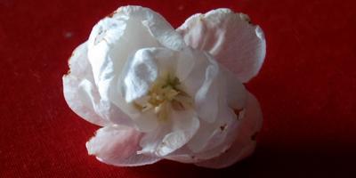 Махровый цветок