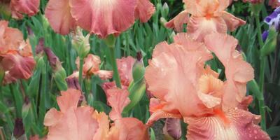 Хочу иридарий длительного цветения