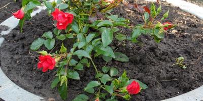 Почвопокровная роза Рэд Свани