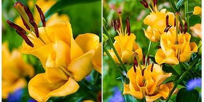 Лилия или роза?