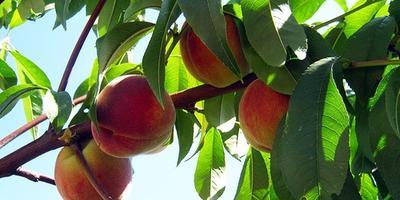Сроки обрезки персика.