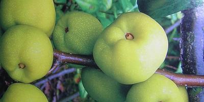 """Айва - """"благородное яблоко"""""""
