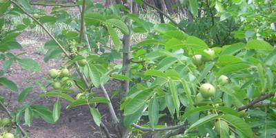 Грецкий орех – дерево жизни. Посадка грецкого ореха, выращивание и уход