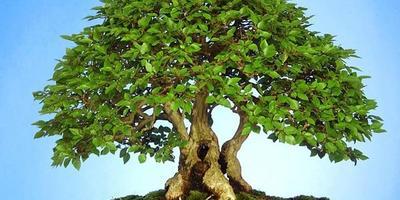 Бонсаи – карликовое деревце
