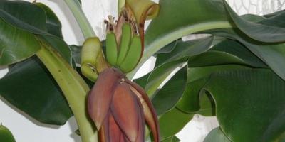 Происхождение банана
