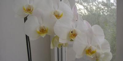 Знакомьтесь: орхидея фаленопсис