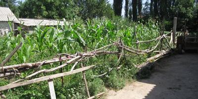 Как украсть кукурузу