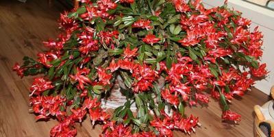 Декабрист - прекрасное новогоднее украшение