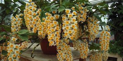 Вот так орхидея дендробиум