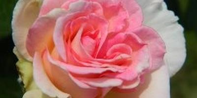 Мои цветы,моё увлечение.