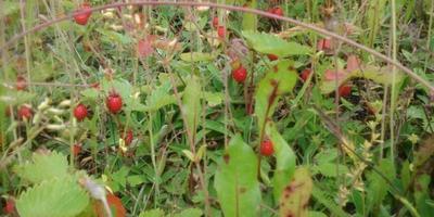 Природный огород-лесная земляника