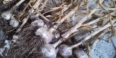 Как сохранить урожай чеснока зимой?