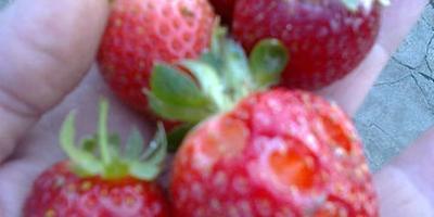 Болезни и вредители садовой земляники