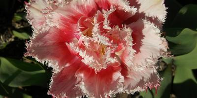 Тюльпаны бывают разные - желтые, белые, красные...