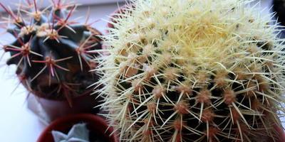 """Мои комнатные """"питомцы"""": кактусы и не только"""
