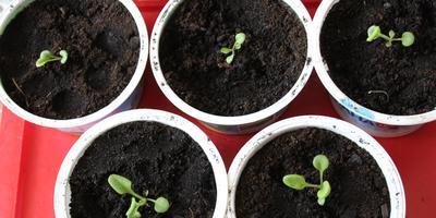 Петуния Марко Поло розовая F1. IV этап. Развитие растений и уход за ними