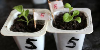 Комплиментуния красно-белая F1. IV этап. Развитие растений и уход за ними