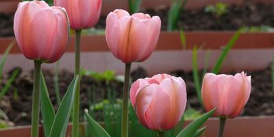 Весеннее очарование тюльпанов