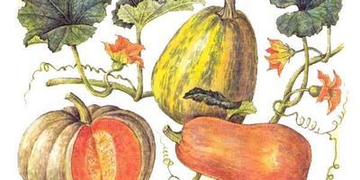 Немного о видах тыквы