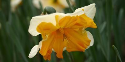 5 секретов цветка нарцисса