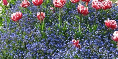 10 примеров посадки тюльпанов с другими растениями