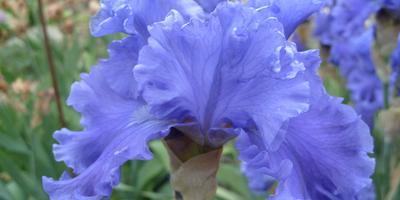 Лечебная цветотерапия на даче: шестой мазок – синий