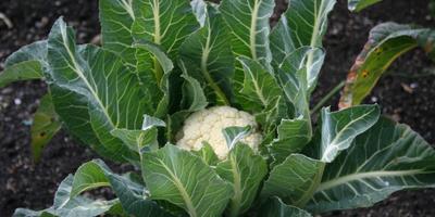 Американские ученые признали цветную капусту лучшим из овощей