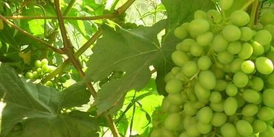 Мои секреты выращивания винограда в условиях Сибири