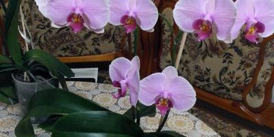 Мои любимые орхидеи радуют цветением!