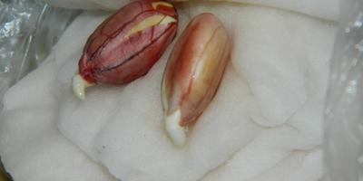 Как вырастить земляной орех-арахис в Подмосковье