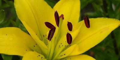 Лилии - цветы невест