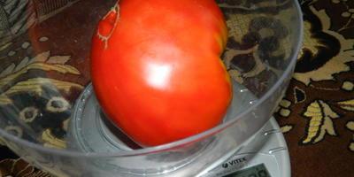 Мои любимые крупные помидоры