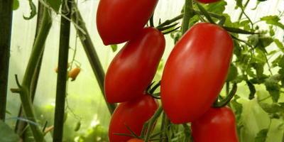 Мой самый любимый помидоров. Спрут Сливка!!!