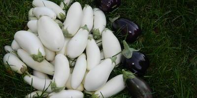 Баклажаны-альбиносы сорта Лебединый