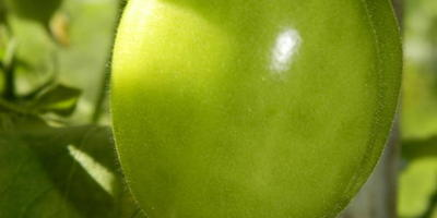 Солнечные помидоры. Сорт Чудо Света