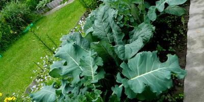 Без сомненья, этот овощ для пищеваренья - помощь!