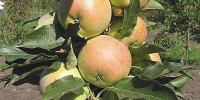 Колоновидная чудо-яблоня