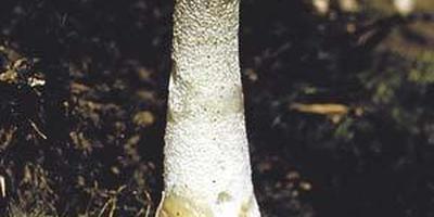 Аромат непристойного гриба