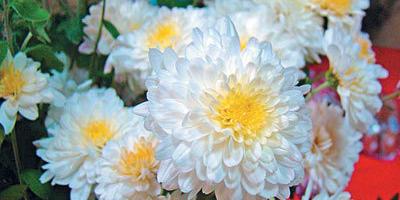 Горький запах хризантем