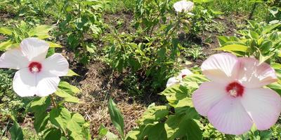 Травянистый гибискус - южный красавец на моей даче!